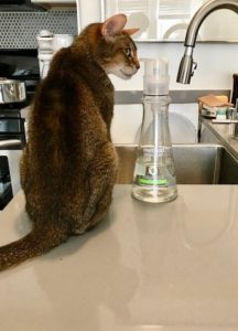 Dish liquid on the kitchen sink counter top. A kitty has jumped up to sniff.